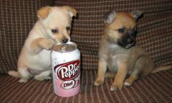 GORGEOUS Designer Teacup Breed Pomchi Pups!! Pomeranian/ Chihuahua pups. Two little girls, one champagne color and one sable with black mask. Dad is a handsome teacup chihuahua and mom is beautiful apricot Pomeranian. They will be around 4 lbs full grown.
