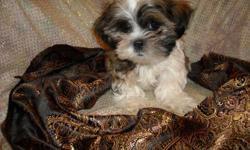 WE HAVE ADORABLE SHIH TZU PUPS, NONSHED SOFT COAT, HYPO ALLERGENIC, SHOTS, WORMED, POTTY TRAINED ON PEE PADS, CRATE TRAINED, WONDERFULL LAP DOGS, WELL SOCIALIZED DAILY WITH FAMILY AND KIDS, READY TO GO TO NEW HOMES,, PUPPY COMES WITH A GOODY HANDBAG,