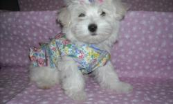 WE HAVE A GORGOUS MALTESE PUPS, NONSHED COAT, HYPO ALLERGENIC, SHOTS, WORMED, POTTY TRAINED ON PEE PADS, CRATE TRAINED, WONDERFULL LAP DOGS, WELL SOCIALIZED DAILY, READY TO GO TO NEW HOMES, 9 WKS OLD, PUPPY COMES WITH A GOODY HANDBAG, TOYS, T SHIRT, PADS,