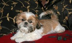 Adorable, AKC Registered Shih Tzu male puppies, Non-shedding, non-allergenic, fun & sweet!
