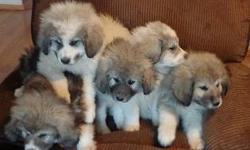 Great Pyrenees / Anatolian Cross Puppies 9 Weeks old, one female, four males.  Great with family and animals.  Breed is known for protecting livestock, currently on ranch with goats, cows, horses, pigs and chickens.Ready for a new home.