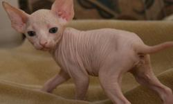 we have a male and two females adorable sphynx kittens.they are ready to go to very good homes with a very low adoption price.they will be going with all papers and accessories.they are also good with kids.contact me for more info via text or email