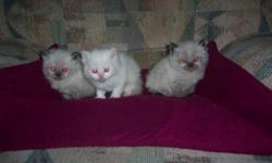 Beautiful doll faced himalayan kittens,pretty blue eyes,dewormed and ready to go 9-4-2011.with papers 400.00 breeding rights more if excepted,taking deposits to see these babies call 563-324-3622. tortie point female,cream point and seal point male.