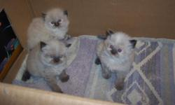 Adorable himalayan kittens,blue eyes,dewormed and ready to go to their new loving homes.400.00 with papers.to see these babies call 563-324-3622.only one left in this litter.she is the one in the picture alone.