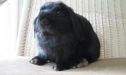Hollland Lop Bunnies!!! We have one black male, one sable point male, one broken tort male and one very nice black doe available. Our Holland lops come from some of the best show lines in the country. These bunnies are 8 to 15 weeks old. Please contact us