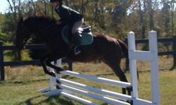 Hunter-Jumper. 5 yr old Thoroughbred Gelding. Dark Bay, 14.2 hands (could enter pony class). Quiet, Sound.