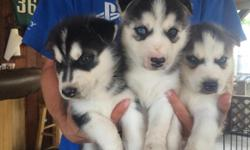 I have 3 male husky puppies left