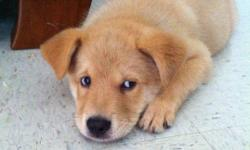 8 week old, male puppy. He's a Husky and Retriever mix. Very friendly and playful. Has his first shots and is de-wormed. He comes with a bed, two metal bowls, food, treats, toys, brush, shampoo, 2 leashes and 2 collars.