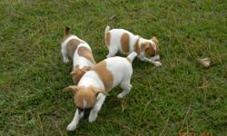 I have two short legged, fawn colored Jack Russell puppies for sale Please call or text for more information