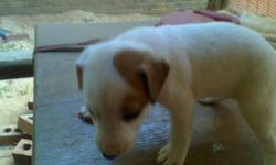 I have 7 ckc jack russell pups purebread with papers. male and females. tan & brown. black& tan. black/brown& tan. Tails docked. these pups have cute and nice markings. ready for home july 16 th. pick early ! $ 100.00 each. call --