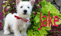 Hey There, I'm Jake! The loving Male West Highland Terrier! I'm so sweet! I was born on April 28th,2014. Many people like me for my soft, fluffy white fur, my sweet smile, and loving personality! I've always dreamed of having someone to love me and hold