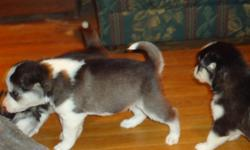 We have 6 purebred siberian husky puppies for sale.  I have 4 males and 2 females. They are black and white with blue eyes. Both parents are on site. We have been pad training them.  They will be ready to go a few days before