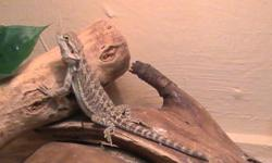 Juvenile bearded dragon it is a citrus color it is eating crickets and eating vegies it is very tame $50.00 for the dragon and $50.00 if u want the tank and stand