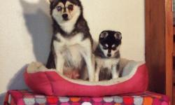we have 4 pups for sale 3 girls 1 boys,this is mums third and final litter.they will be fully wormed and ready to go.mum and dad are both our pets and have the best tempermant possible.We had fantastic feed back from the ...fill free to text us via