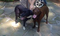 Chocolate Lab - about two years old, female, trained to sit, shake, walk on leash. Black and White Lab mix - about two years old, male, trained to sit, walk on leash. They don't dig or chew. Very nice dogs, love people. They were someone's pets, but no