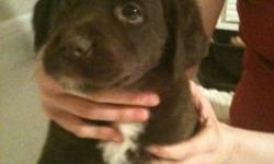 Lab Boxer pupies 5....I have 1 beautiful lab/ huskey puppy LEFT!!! needing a good home.. he has been wormed and has had his first shot the 5 in 1.. $50.00... he is great tempered and will make a family a nice pet... great for farm dogs too. they are 8