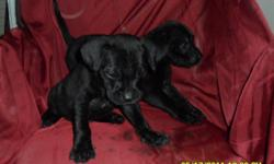 Wait til you see these love bundles! The mother is black lab and dad is block head black lab, puppies are 8wks old. They came from a litter of 9! One male, one female. I have dewormed them, and they have not been to the vet but as with all my pups I give