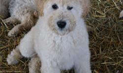 Labradoodle Puppies in Maine! Three, yellow, male puppies, very cute, F1B Labradoodle puppies for sale. They have been vet checked, First and Second shots and more. They are ready to meet their new families and go to their new homes! For more info on