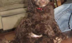 Ready for new home. These puppies are 9 weeks old. Parents are CKC registered, DNA tested for health and genetics. Puppies are beautiful, healthy, very socialized chocolate doodles. We have been very happy with this litter.