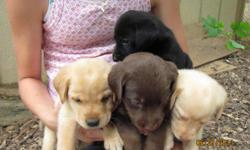 We have CKC REG. Lab puppies Only 2 Black Males left-GEORGEOUS! These pups have been dewormed and had their 1st shots. (8 weeks old) They are raised from our family pets and have GREAT TEMPERMENTS! (both parents on site). Dad has English syle Block head.