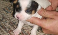 Lil Lik is a female rat terrier tri color mostly white with black eye patches. She is 2 weeks old born 1/17/11 and has just opened her eyes and had her first worming. Her dam is a tri color type B tuxedo natural bob tail and her sire is a mini type A tri