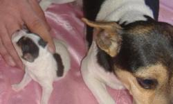 Little Love is a female toy tri color rat terrier. She was born 1/22/11 and has just opened her eyes and had her first worming. She will have all wormings and shots before leaving. Her dam is a toy tri color type A natural bob tail and her sire is a mini