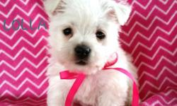 Hi! I'm Lolla! A Female AKC Westie I am a playful little ball of White fluffy fur. You are going to fall in love with me on sight. I'm a player! And I will play with your heart strings. My Birth Date: January 29th,2015. I will come home with you, Shots to