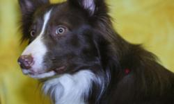 Lost Male Border Collie 5/14 @1pm near 72 & Cass. His colors are red and white he is very friendly.