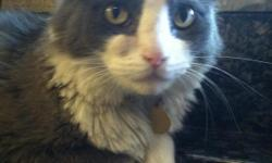 Lost gray and white cat around park ridge town homes at university and Lockwood ridge. Goes by the name, ziggy. Has a syst under is right eye. Please contact ASAP!!!