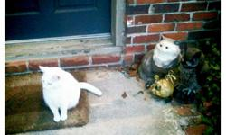 White, greenish yellow eyes, soft meow. Missing back in July 2012 still looking for her. Very sweet. Name is Frenchy.