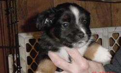1 male mixed puppy..Born April 4th, he is Black tri colored with no tail. Mom is a toy Aussie and dad is a terrier mix.. any further questions call 360-264-4623 and ask for Tracee or leave a message. or email her at gonannygo51@yahoo.com