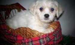 MalShi (maltese/shichon) puppies both male($300) and female($350) available. Puppies are in excellent health and have had all necessary inoculations. Please contact happypuppyil@yahoo.com or call (309)785-5315 for more information on availability and