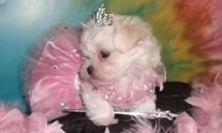 I have one CKC Maltese Female ready for a new home now. She was born April 19th and is 10 weeks old now. Beautiful white fur with black points. A Maltese is known for all the attention they get and this little sweetie is no exception. I also have a litter