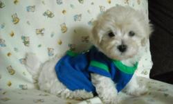 ADORABLE NONSHED MALTESE, PUREBRED,SHOTS, WORMINGS, HYPO ALLEGENIC, SLEEPS THRU NITE IN KENNEL, HE IS PEE PAD TRAINED, VERY SWEET LAP BABY, READY TO GO TO HIS FOREVER HOME, HE IS WELL SOCIALIZED DAILY AND GREAT WITH CHILDREN AND OTHER DOGS, HE WILL GO