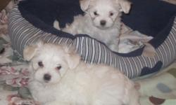 Perfect Maltese puppies. Two boys left! Black points, dew claws removed, and first shots. Will be ready for their new home Sept. 28th. These babies are fabulous! Call Angela at (307)262-7979.