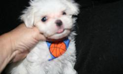 Absolutely gorgeous maltese teacup size male puppies raised in my home Both parents in my home Champion bloodlines Snowy white silky coats and short backs curled over tails and short muzzles black points .The puppies are on wholitstic food for a good