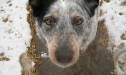 Molly is our family pet who spent most of her 9 years running on a farm. We have moved to town and have to keep her in a fenced area. She is extremely playful, healthy, very loyal to her owners, great watch dog and prefers to be the only dog around, but