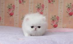 Micro Teacup Persian kittens for sale (302) 583-1203 (302) 583-1203 There are raised lovingly, then they are of course housebroken, have 2 vaccinations against respiratory / panleukopenia .Please briefly introduce yourself, we want to know where our