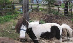 A whole herd of mini horses for sale! One statllion and 4mares, one is bred. 38 inches tall and under. The stallion is a beautiful small black paint with blue eyes. He is quiet and sweet. All of the horses have sweet personalities and one mare has been