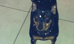 I have a minature pinscher that needs a good home. He is 5 years old, potty trained, and trained to not jump on the furnature, does not do anything but sleep all day. A really good little dog that needs a good home because my husband and I are moving and