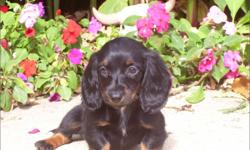 1 Female Long Hair Mini Dachshund born on 8-26-10. UTD on all shots and comes with a health warranty. CHECKS AND CREDIT CARDS ACCEPTED! For More Info Call: 414-418-6073