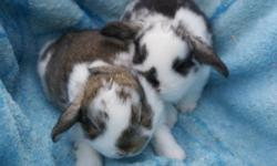 Mini lop babies ready for a good home. Have been handled from the day they were born. Very sweet and pretty. Would make a great pet. We are 7 weeks old and can't waite for a new companion to love. Please leave a message when you call so I can get back