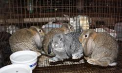 We have Mini Lop Rabbits for sale. They are approximately 10 weeks old. We have a two bucks and two does still available. They are absolutely adorable and each won blue ribbons at the Lincoln County Fair! They have been well loved on so they will make