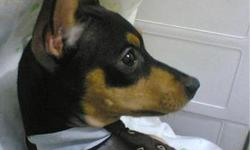 I just a got mini pinscher who is loveable and house trained; unfortunately my previous dog is jealous and trys to attack him. I would love to find a good for home for him. He is great with children and he is the perfect house dog. He deserves a great