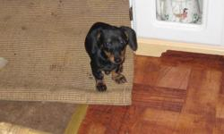 BLACK & TAN 8 WEEKS OLD SHE IS SMOOTH VERY CUTE PUREBRED