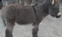 We have several little miniature donkeys , different ages, very resonably priced, or best offer : for more info call Lou Hill 205-681-2966