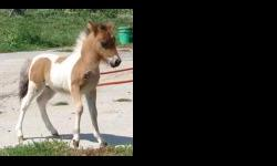 """We have all double and single registered ages & sizes for sale. Bred mares, babies, breeding stallions, show prospects, riding and driving horses for sale. Firecracker is a double registered 27"""" proven breeding stallion that throws tiny,"""