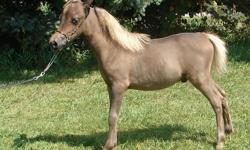 """We are reducing our herd by 75%! Now is the time if you have been wanting to get into miniature horses or are just looking to add different bloodlines or high quality horses into your herd. We have every size from a 27"""" Double Reg. 4 yr. stallion (proven"""