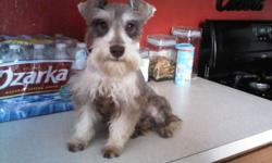 4 month old pure breed miniature schnauzer. - silver and white