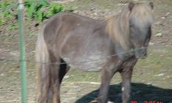 """for sale. 10 year old miniature stud horse.. darkbay with flaxen mane n tail.....approximately 37in ..not registered... he's a proven """"daddy"""" 3x over....mares were 28in-36in tall.....leads n trailers well..no bad habits other than loves attention...$250"""